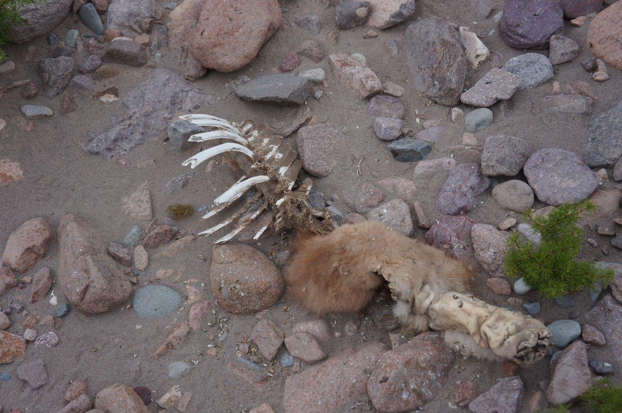 Troligtvis resterna av en guanaco.